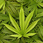 Potential Effects Of Marijuana On Pregnancy Are Long-Lasting